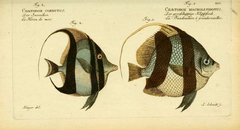 "The superfiscial similarities of the Moorish Idol (Zanclus cornutus) and the Schooling Bannerfish (Heniochus acuminatus) clearly fooled Bloch, who placed both into his broad concept of ""Chaetodon""."