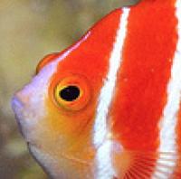peppermint-angelfish-lemon-tyk