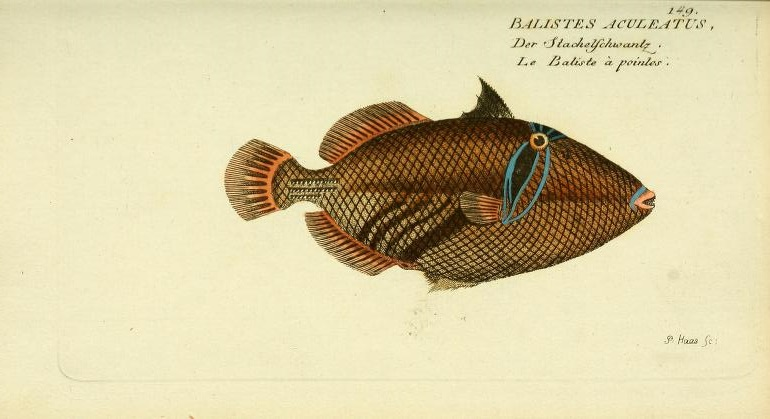 This is likely the first image of a Picasso Triggerfish, which had been described by Linneaus a few decades earlier in 1758.