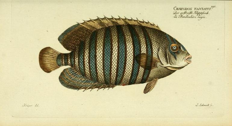 """Regal Angelfish, as """"Chaetodon fasciatus""""."""