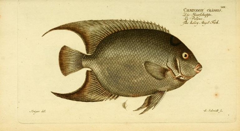 This Queen Angelfish (Holacanthus ciliaris) seems to have been illustrated from a preserved specimen.