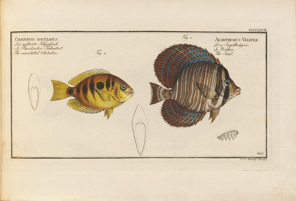 "That's a brackish water cichlid on the left (Pseudetroplus maculatus), which Bloch described, and the Sailfin Tang on the right is from India and is the type specimen for velifer, but, strangely, this is the name now used for the Pacific species. The specimen illustrated by Bloch is what we now call Zebrasoma desjardinii, though this species name was described after Bloch's ""velifer"". Clearly more taxonomic work is needed to sort this out."