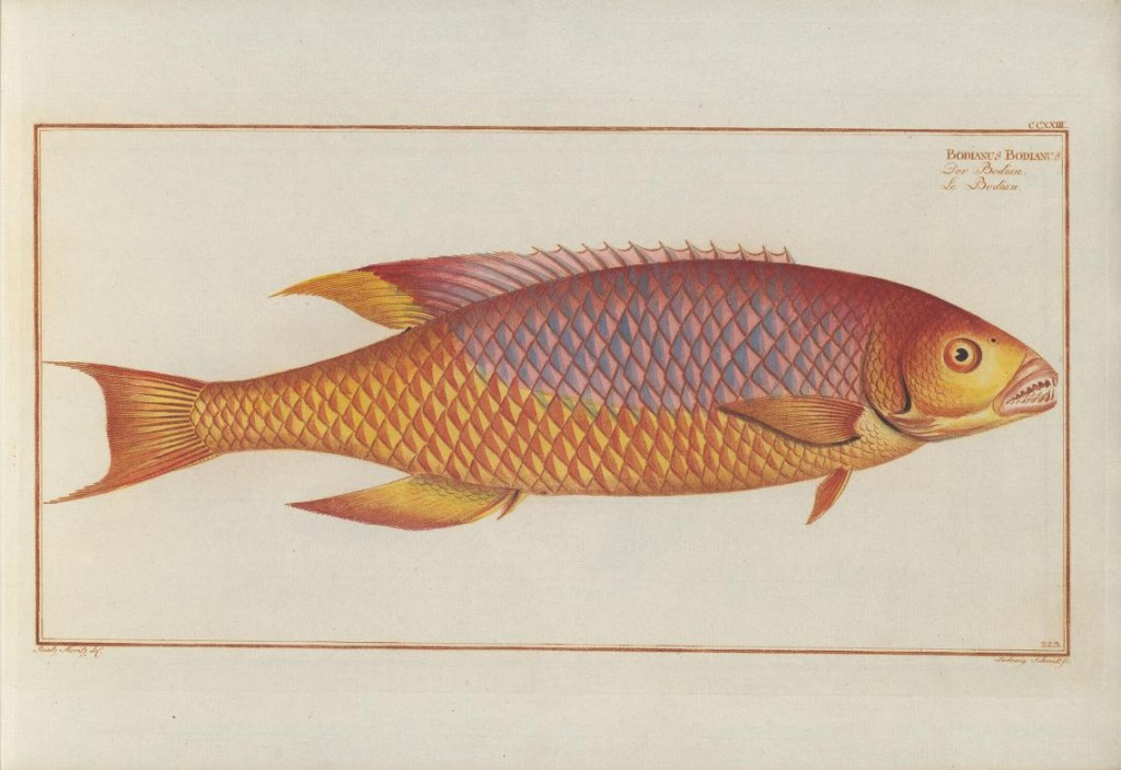 "Here Bloch describes the genus Bodianus, using it for the Spanish Hogfish (Bodianus rufus). Interestingly, Linnaeus had already described this species as ""Labrus rufus"", so Bloch only gets credit for establishing the genus, not the species."