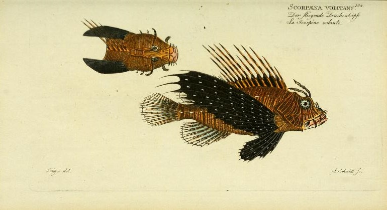 This is likely Pterois miles, the Indian Ocean counterpart to the Volitans Lionfish.