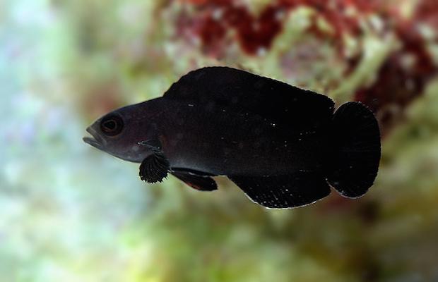 Manonichthys paranox, the Midnight Dottyback. Photo credit: Lemon TYK.