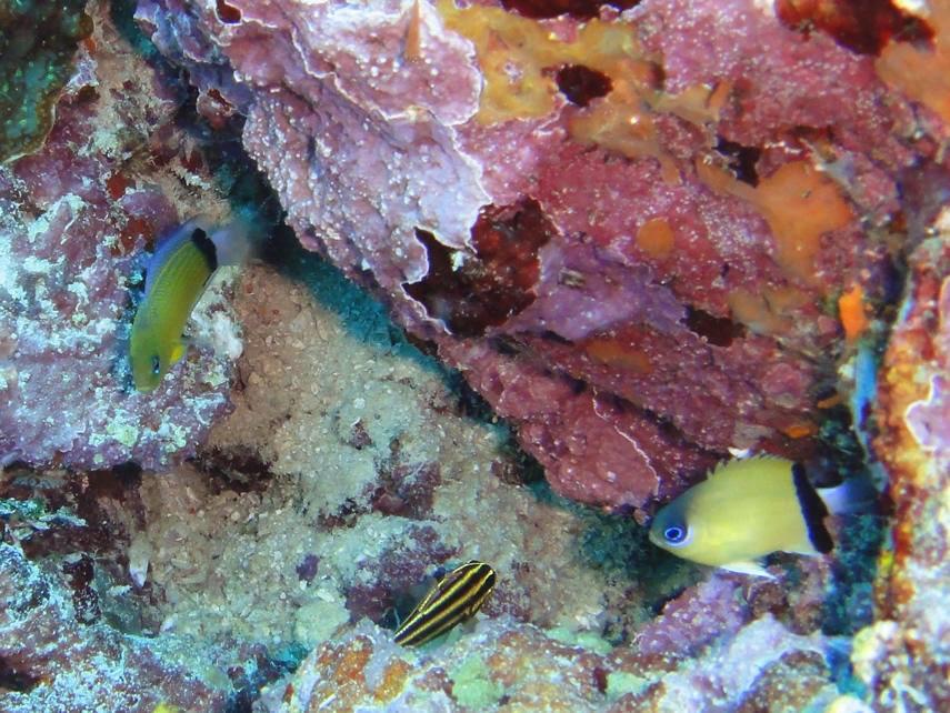 Manonichthys jammable with its model, Chromis retrofasciata. Photo credit: KAKO.
