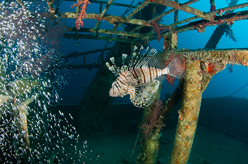A Lionfish hunts on a wreck in the Indo Pacific, where it ought to be.