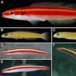 Terelabrus dewapyle: A new species of deepwater labrid from the Western Pacific Oean