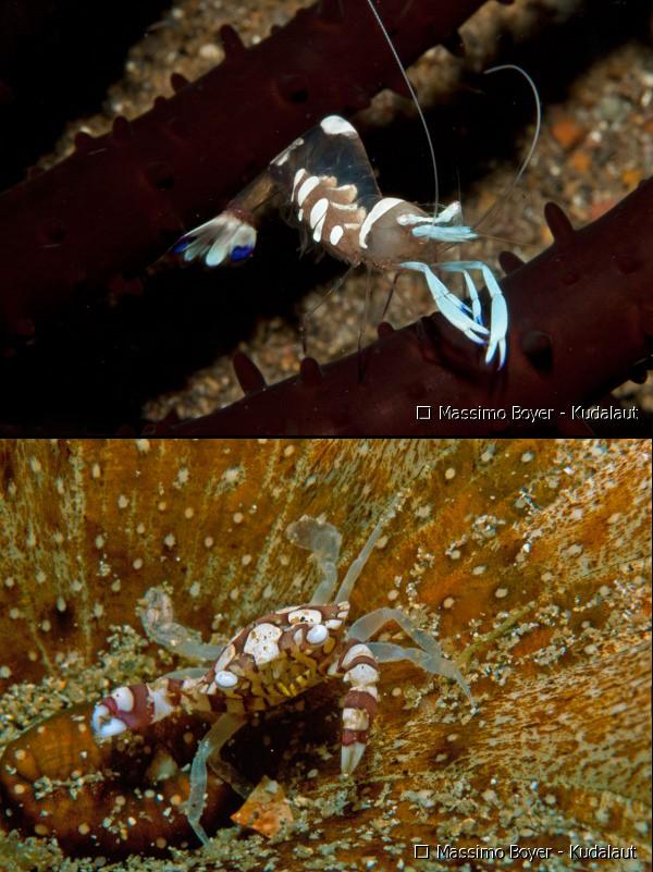 Commensal crustaceans: Anclyomenes & Lissocarcinus. Credit: Massimo Boyer
