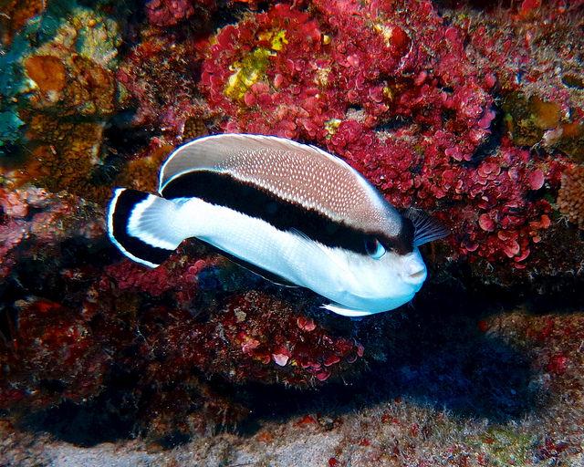 Hawaii's Angelfish Diversity: Part 1