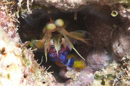 black mantis shrimp - reefs