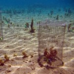 Algae Saves Coral from Crown of Thorns