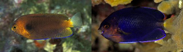 "C. fisheri variation at Johnston Atoll (left) & ""flavicauda"" from Palau (right). Credit: Diverdave & Luiz Rocha"