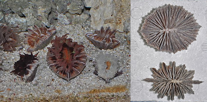 F. japonicum in the center, surrounded by F. deludens. Top skeleton is japonicum. Credit: Sea Bros