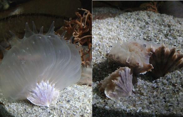 Remarkable amount of tissue expansion. Credit: Toba Aquarium