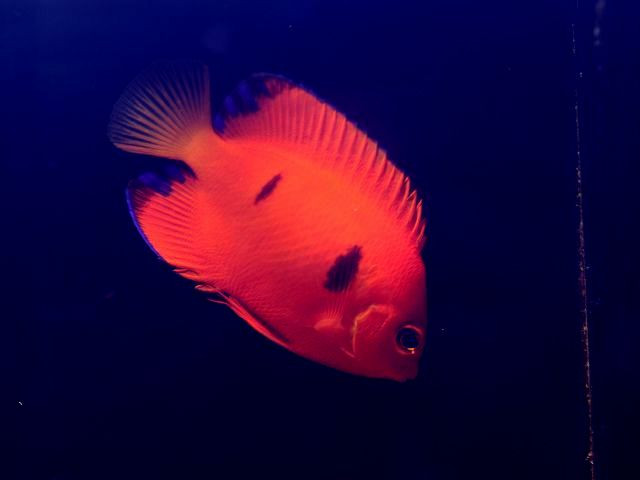This aquarium photo shows the typical Marquesan loriculus, though presumably this specimen wasn't collected there. Credit: Clownfish