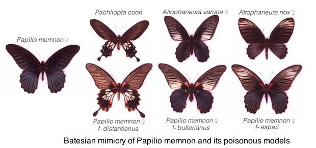 papilio-memnon