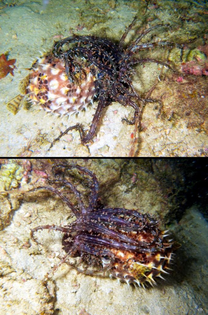 Consuming a Burrfish, Cyclichthys sp. Credit: Siratus