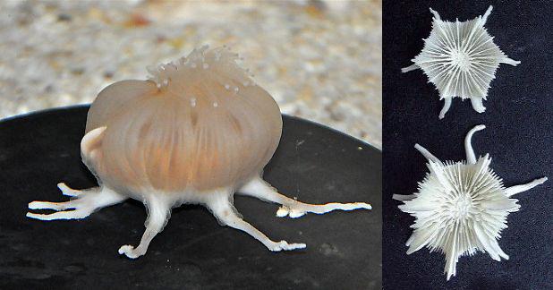 A truly distinctive coral. Credit: Sea Bros