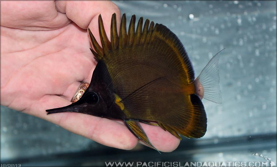 Melanistic F. flavissimus. Photo credit: Pacific Island Aquatics.