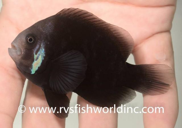A melanistic tomato clownfish, either A. frenatus or A. melanopus. Credit: RVS Fishworld/Barnett Shutman