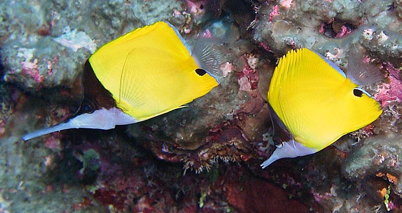 A heterospecific pairing between F. longirostris (left) and F. flavissimus (right). Note the difference in snout lengths and eye color. Photo credit: Dustin Dorton.