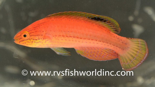 Young specimens like this one give little indication for the sumptuous beauty of the terminal male. Credit: RVS Fishworld