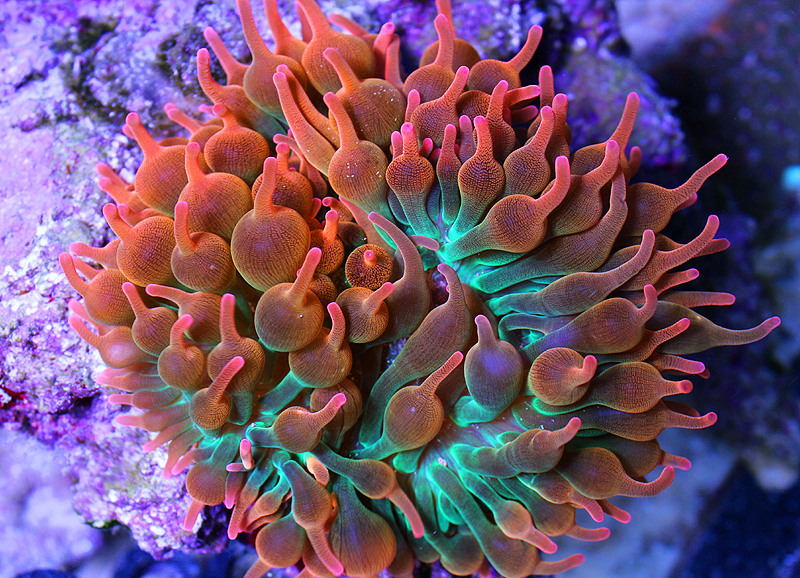 Sea anemone reproduction asexual