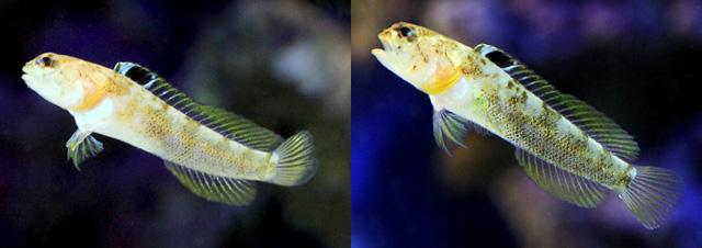 Aquarium specimens form the Japanese market. Credit: Charm