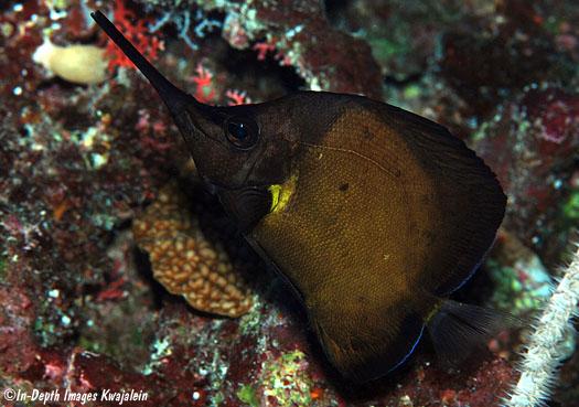 Melanistic F. longirostris. Photo credit: In-Depth Images Kwajalein.