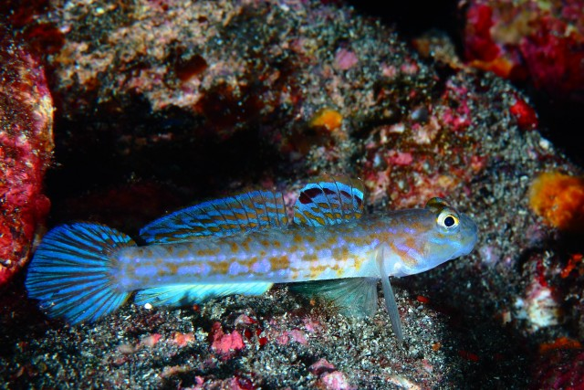 Istigobius_hoshinonis - reefs