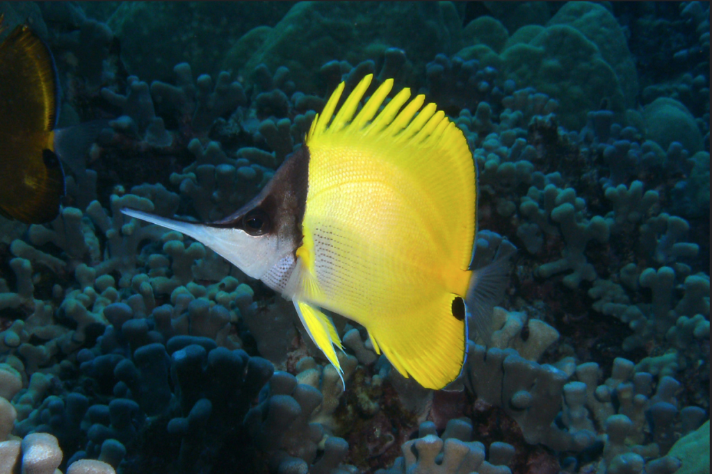 Forcipiger longirostris from Hawaii. Note the striae present behind the pectoral fin. Photo credit: Barry Fackler.