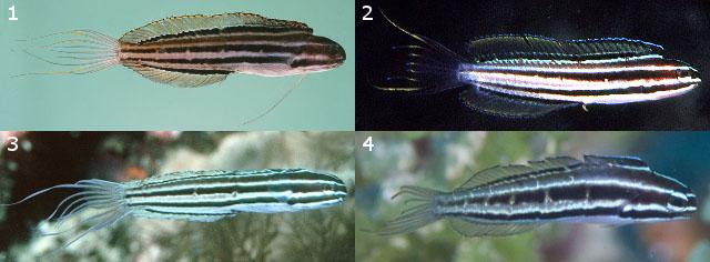 M. abditus. 1,3=Flores, 2=D'Entrecasteaux Islands, 4=Solomon Islands. Credit: John Randall, Rudie Kuiter, Mark Rosenstein