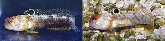 There is considerable variation in the coloration of this species. Credit: active aqua & kazika1997