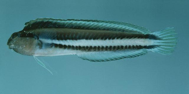 M. anema, from Meiro River, Madang, Papua New Guinea. Credit: John Randall