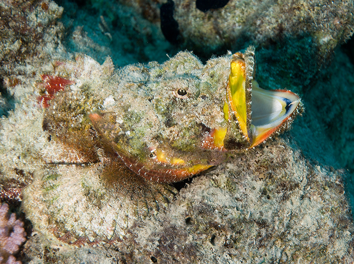 Scorpaenopsis diabolus – the aptly named Devil Scorpionfish.