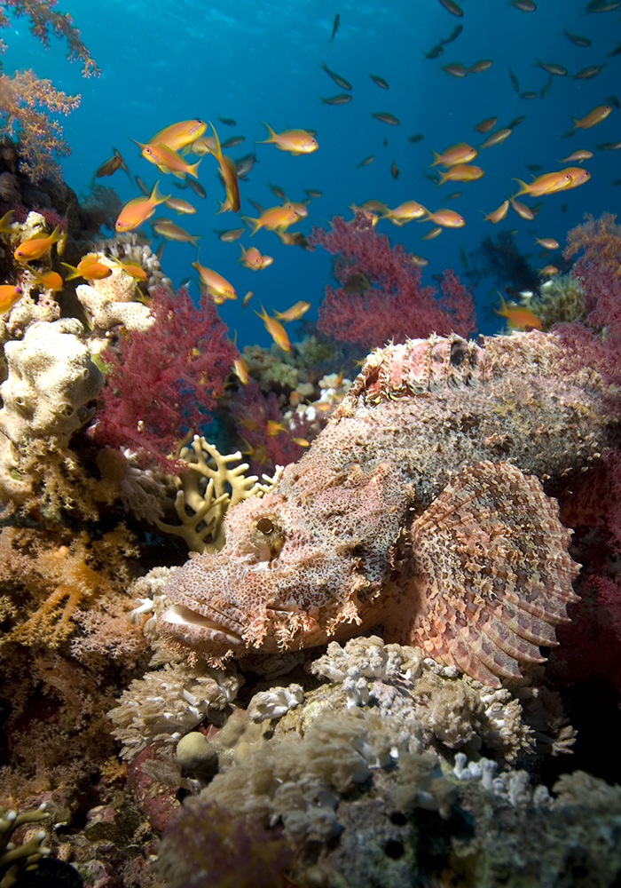 Scorpaenopsis oxycephala blending into a reef.