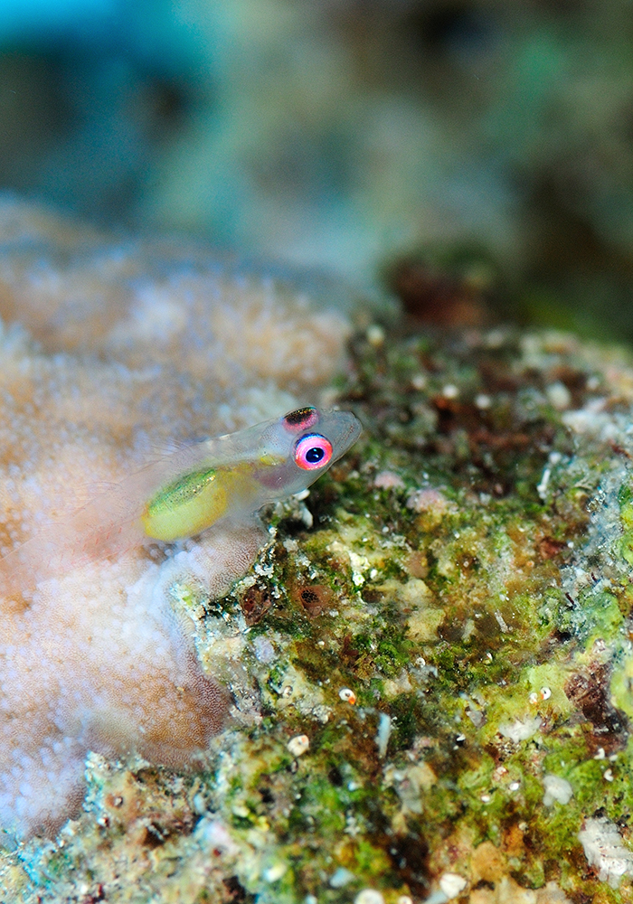 Or… go a different way and blend in by going see-through. These tiny gobies (Bryaninops natans) reach around an inch in length and hide within coral branches.