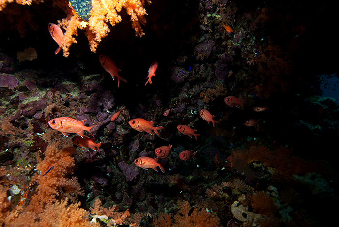 More 'red' soldierfish (Myripristis murdjan) in their natural daytime haunt of a cave. They hunt on the reef at night.