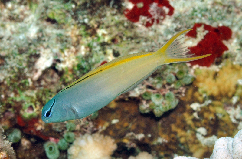 A possible hybrid of the Indo-Philippines and Melanesian populations. Note the intermediate dorsal fin stripe and light yellow coloration. From the Banda Sea. Credit: Gerry Allen