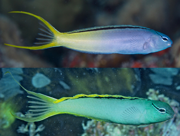 M. cf atrodorsalis from Eastern (above) and Western Australia. Note the brighter yellow of the dorsal fin and greyer body of the western population. Credit: Gerry Allen & Rudie Kuiter