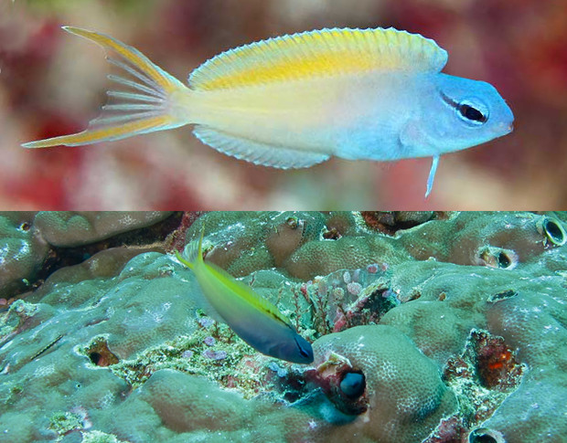 Juvenile M. cf atrodorsalis from Mactan, Philippines and mature specimens from Borneo. Note the unmarked dorsal fin of the juvenile. Credit: kiss2sea & Bernard Dupont