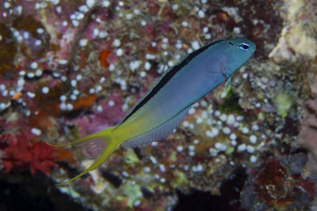 Samoan M. atrodorsalis, which represents the type locality. Credit: Mark Erdmann