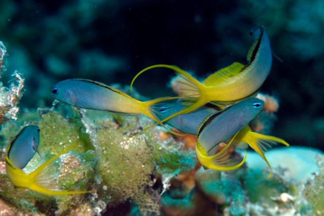M. cf atrodorsalis from Ngulu Atoll, near Yap. Credit: Gerry Allen