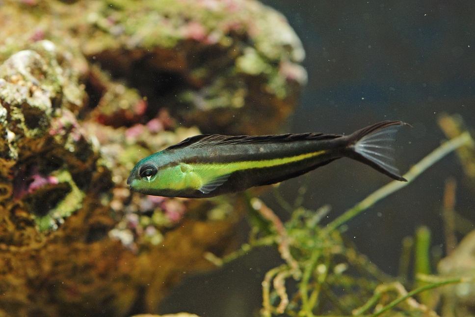 M. bundoon in an aquarium. Note that the caudal lobes can get far more elongate than this. Credit: tamberav