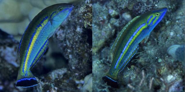 The Hawaiian P. cerasinus (left) and a Fijiian cf cerasinus (right). Credit: Miho Uchino
