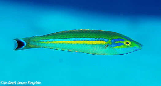 An unusual specimen from the Marshall Islands. Credit In-Depth Images Kwajalein