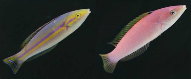 Male and female (not to scale) Tahiti P. cf cerasinus. Credit: Aquaseeker