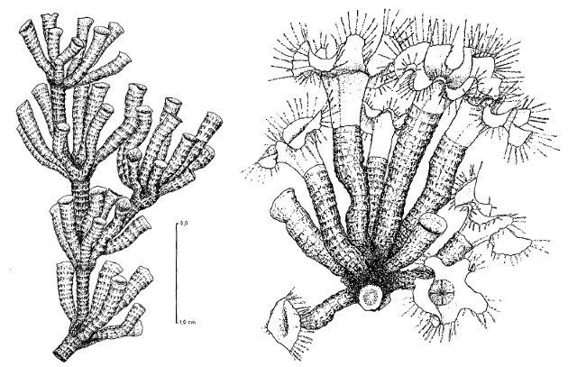 Colony morphology. Modified from Werner 1970