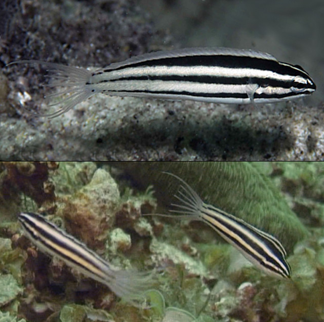 M. crinitus from Raja Ampats, Indonesia. Note the apparently sexual differences of the dorsal fin stripe. Credit: Gerry Allen & Ned DeLoach/blennywatcher.com